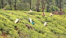 'The ban was also eroding Sri Lanka's ability to compete in international   markets given that other tea exporting nations that were not hindered  by  the inability to use glyphosate.'