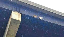 Pennsylvania Turnpike officials said the two goats wandered on to the Mahoning River Bridge from a local farm near New Castle. (Pic: Pennsylvania Turnpike/ Facebook)