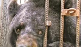Asiatic Black Bear raised as a pet dog  -CGTN
