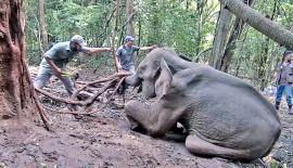 Wildlife officers try to rescue an entangled elephant