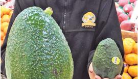 The Avozilla is around four times the size of the regular avocado, weighs an average of 1.2 kg and costs $12 each.