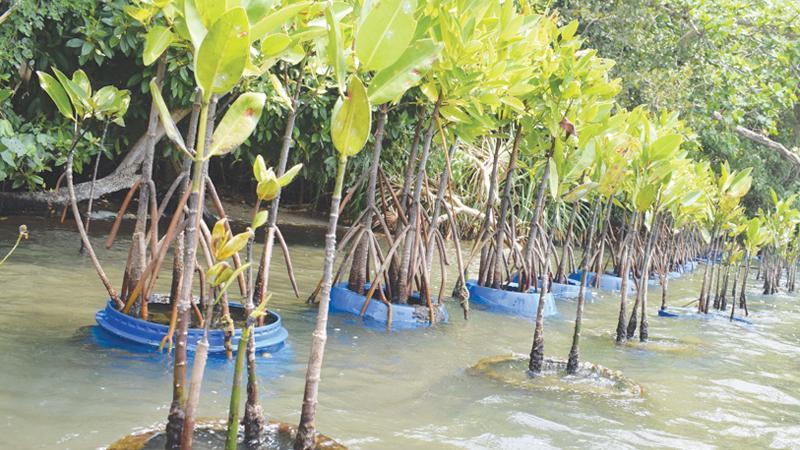 Mangrove preservation