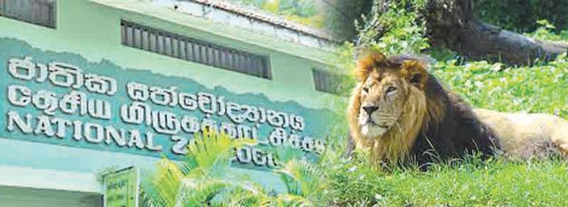 A lion at the Dehiwala Zoo (File Photo)