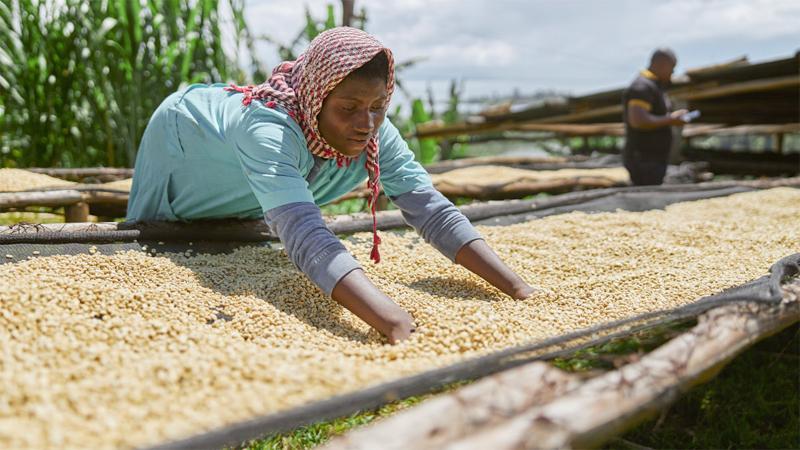 A female worker dries coffee beans